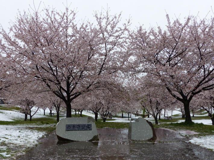 桜と雪の南平野公園_f0296312_01163232.jpg