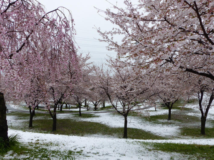 桜と雪の南平野公園_f0296312_01163643.jpg