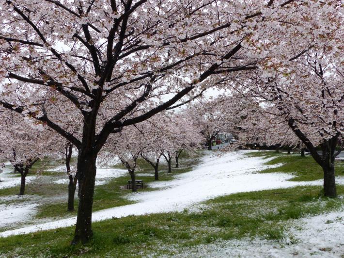 桜と雪の南平野公園_f0296312_01163989.jpg