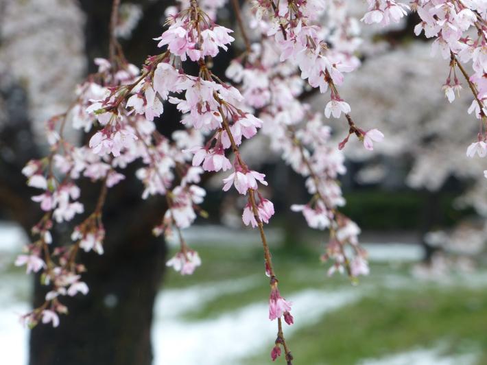 桜と雪の南平野公園_f0296312_01164264.jpg