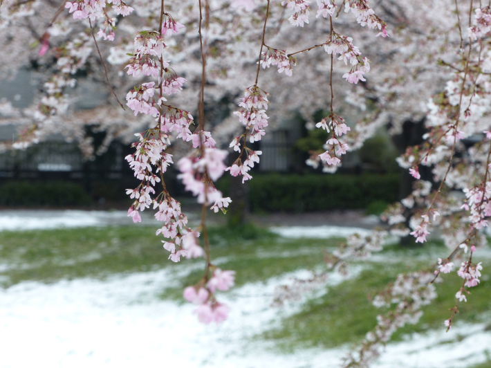 桜と雪の南平野公園_f0296312_01183756.jpg