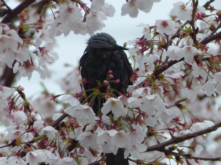 桜と雪の南平野公園_f0296312_01203381.jpg