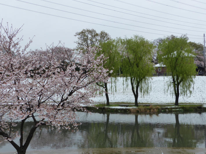 桜と雪の南平野公園_f0296312_01205849.jpg