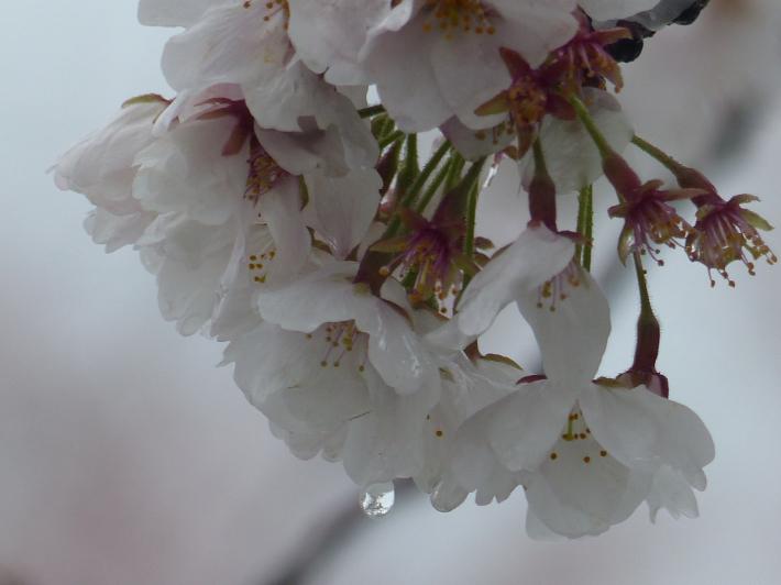 桜と雪の南平野公園_f0296312_01210765.jpg