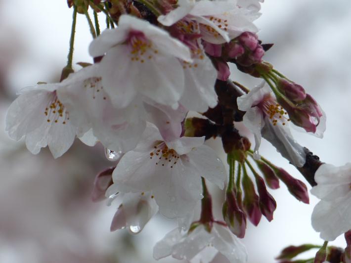 雫の中にも(桜と雪 番外編)_f0296312_17435428.jpg
