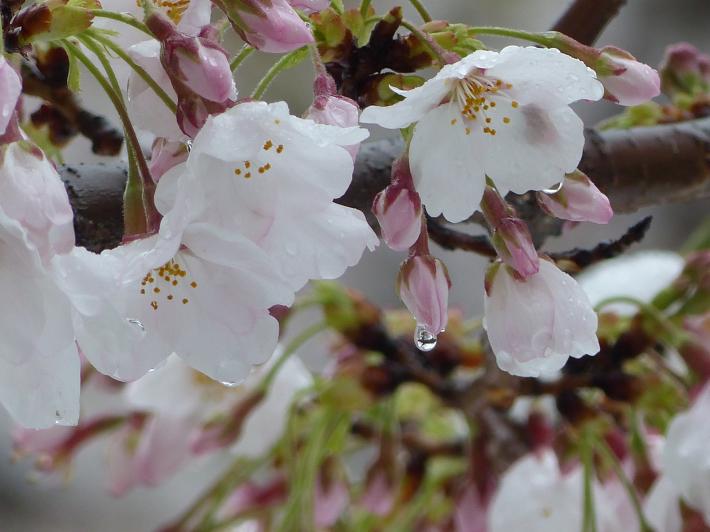 雫の中にも(桜と雪 番外編)_f0296312_17435608.jpg