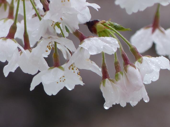雫の中にも(桜と雪 番外編)_f0296312_17435787.jpg