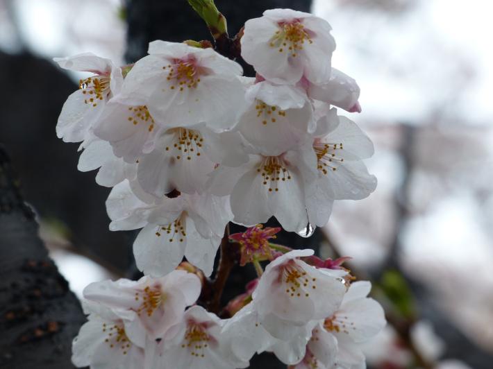 雫の中にも(桜と雪 番外編)_f0296312_18194469.jpg