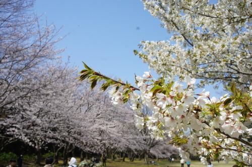 【お花見*公園】_f0215714_16254055.jpg