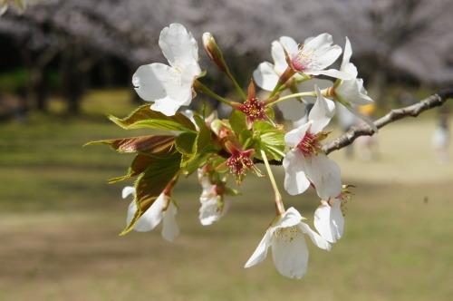【お花見*公園】_f0215714_16264297.jpg
