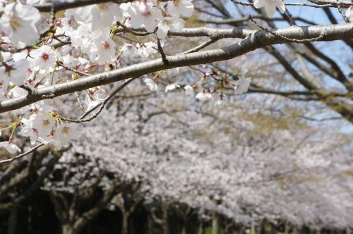 【お花見*公園】_f0215714_16265941.jpg