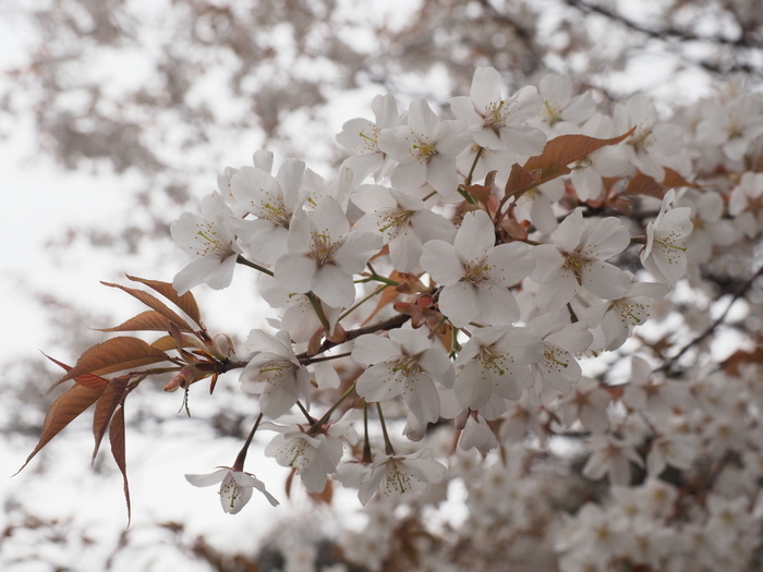山桜_c0116915_22540828.jpg