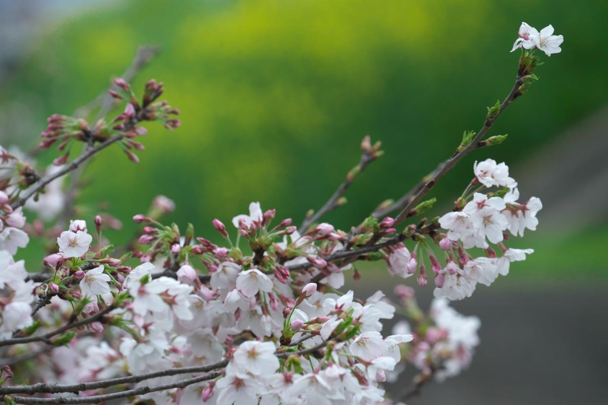 飛鳥川のいつもの桜並木_b0408917_05551944.jpg
