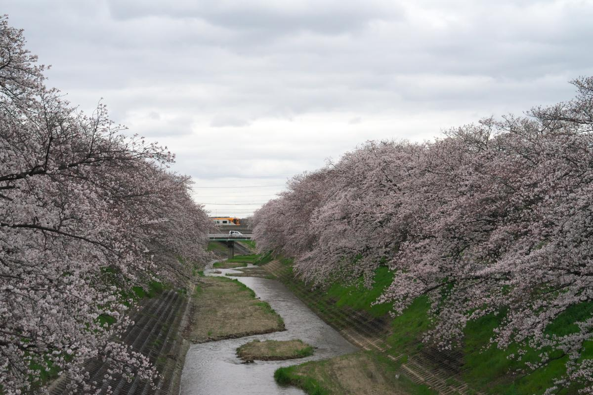 飛鳥川のいつもの桜並木_b0408917_05553440.jpg