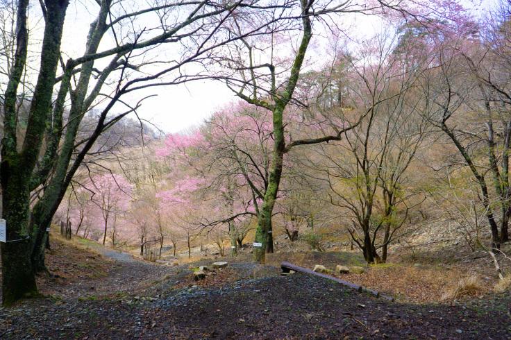 2020年3月29日現在桜の開花状況_d0024426_14022606.jpg