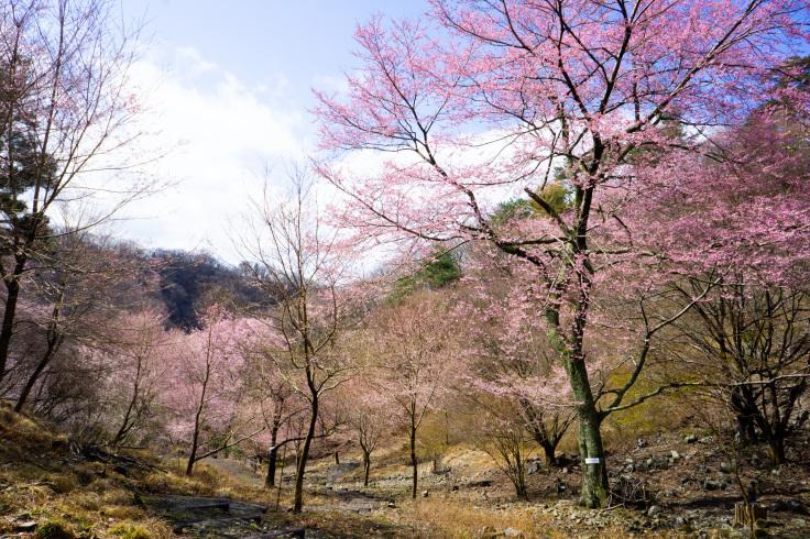 2020年3月29日現在桜の開花状況_d0024426_14025498.jpg