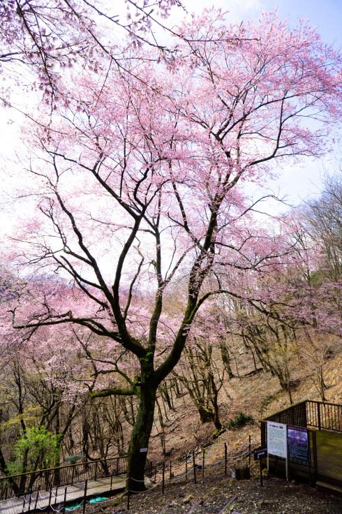 2020年3月29日現在桜の開花状況_d0024426_14030548.jpg