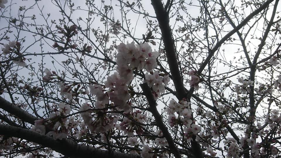 桜並木_f0373339_15354863.jpg