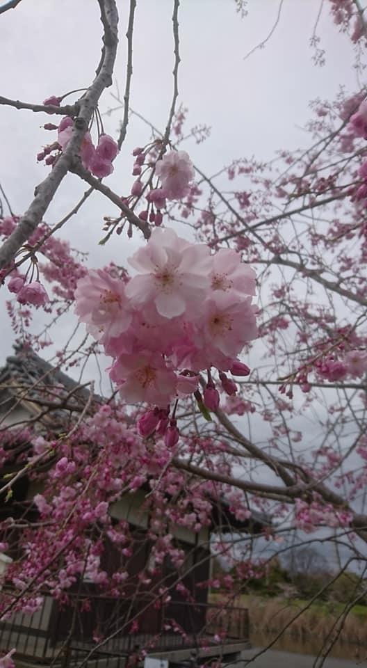 桜並木_f0373339_15354875.jpg