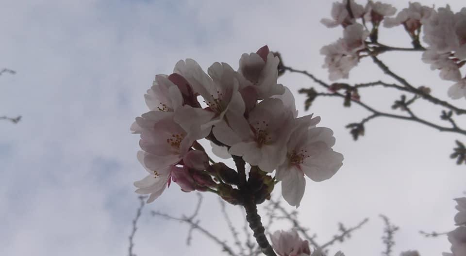 桜並木_f0373339_15354883.jpg