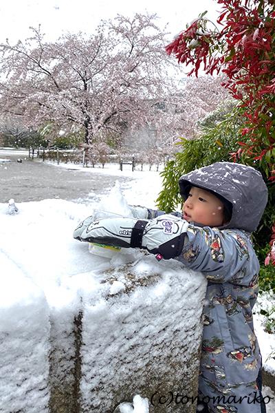 1日だけの大雪で、桜と雪のコラボレーション_c0024345_12320725.jpg