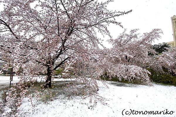 1日だけの大雪で、桜と雪のコラボレーション_c0024345_12320779.jpg