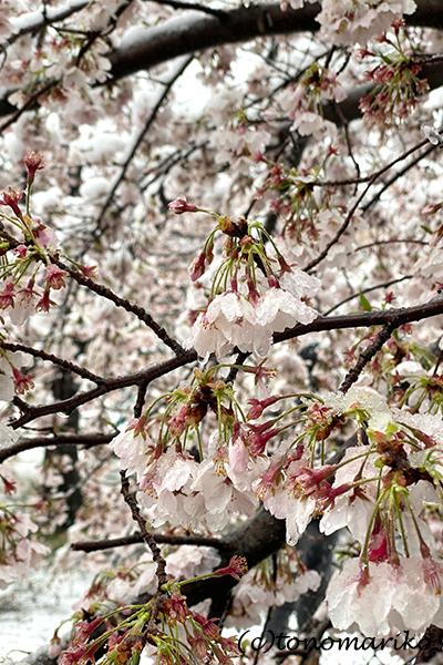 1日だけの大雪で、桜と雪のコラボレーション_c0024345_12320785.jpg