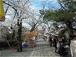 三島サクラだより 三嶋大社_c0087349_10484719.jpg