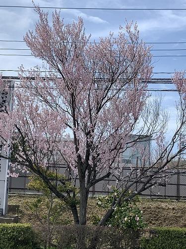 国道沿いの桜_c0327752_14384829.jpg
