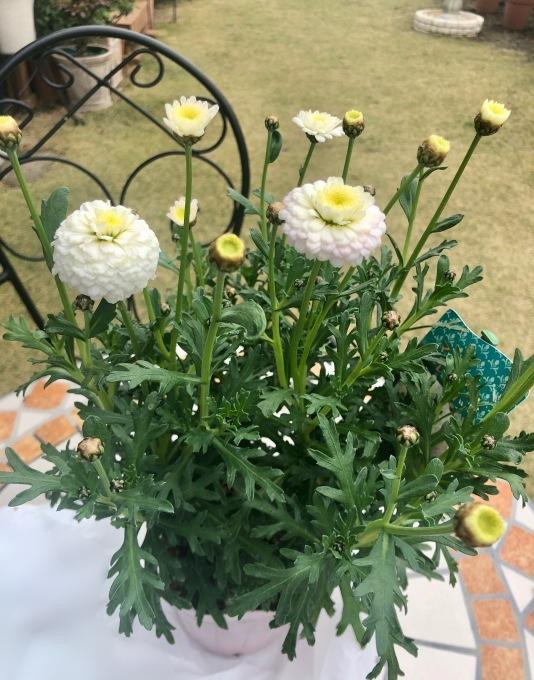 お迎えしたお花達♫とシロマンエのその後♡_a0396654_18484614.jpeg