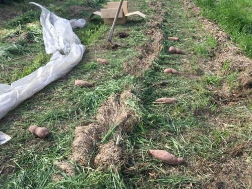 2020 さつま芋種芋を植え付けました_e0181260_04431480.jpeg