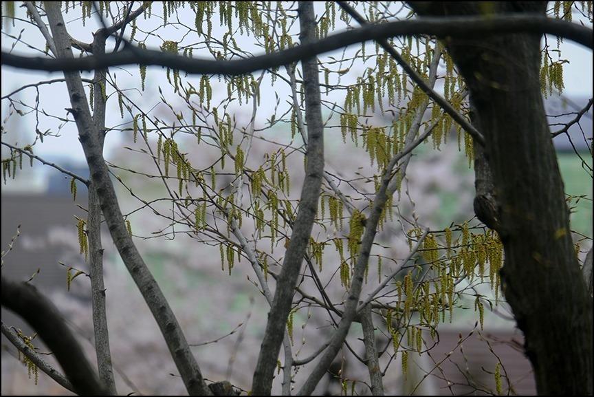 遠くの桜は今日もまだ散り終わらずに残っているようです_a0031363_22543497.jpg