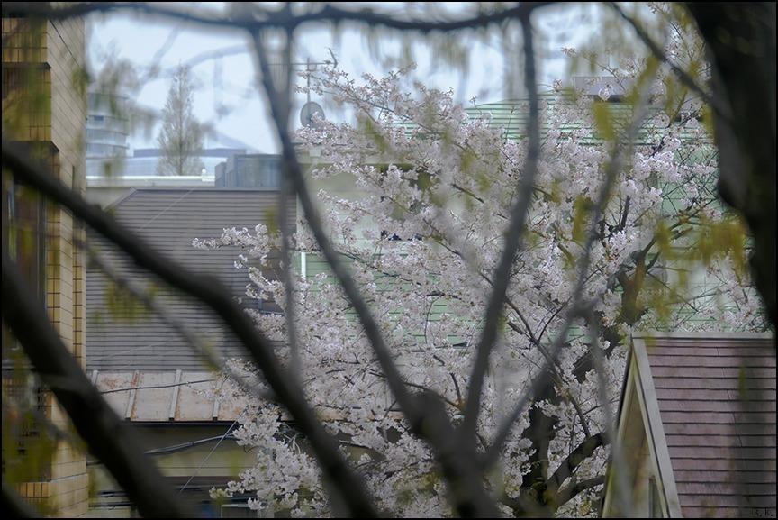 遠くの桜は今日もまだ散り終わらずに残っているようです_a0031363_22544078.jpg