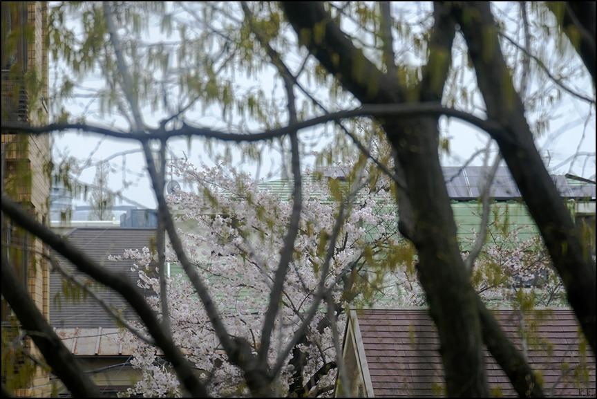 遠くの桜は今日もまだ散り終わらずに残っているようです_a0031363_22544580.jpg