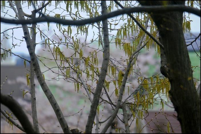 遠くの桜は今日もまだ散り終わらずに残っているようです_a0031363_22545973.jpg