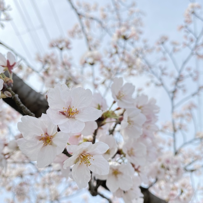 #592〜桜〜_d0116563_19323248.jpeg