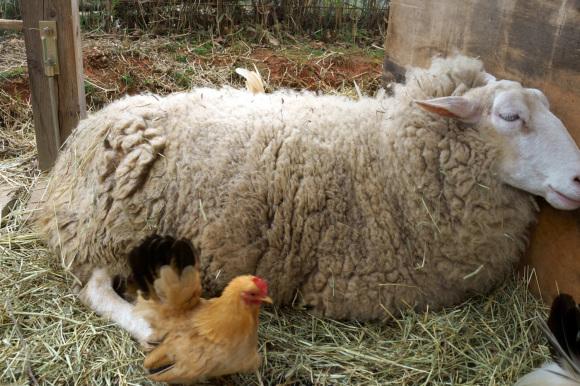 羊のドーラ、貫禄の出産_d0231263_22580794.jpg