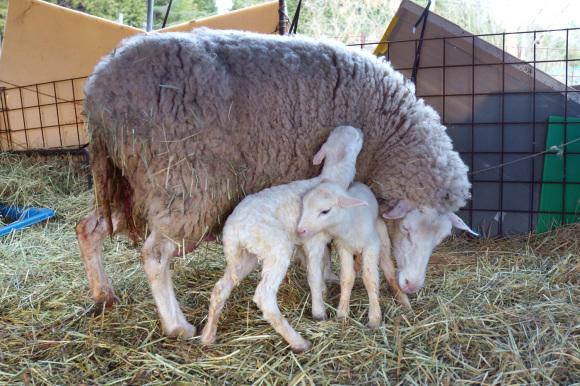羊のドーラ、貫禄の出産_d0231263_22580854.jpg