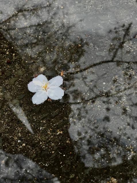 今年の桜は友人とともに_f0134963_01352766.jpg
