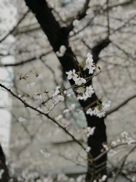 今年の桜は友人とともに_f0134963_01484340.jpg