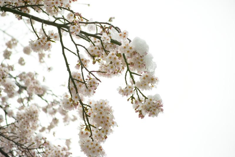 サクラ x 束の間の雪_d0349265_11060304.jpg
