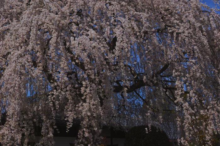 桜 2020_f0021869_23125293.jpg