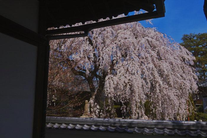 桜 2020_f0021869_23125350.jpg