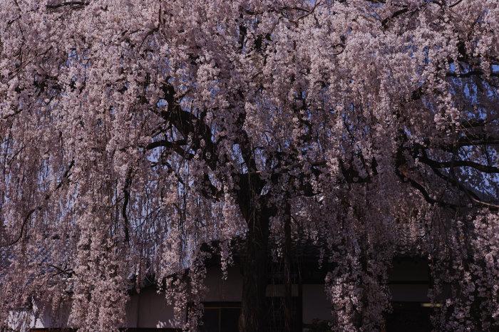 桜 2020_f0021869_23125381.jpg