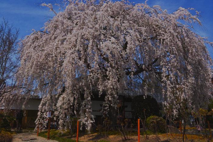 桜 2020_f0021869_23125523.jpg