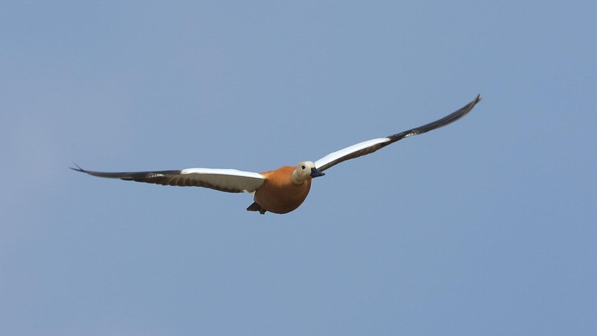 今年の冬鳥を振り返る:アカツクシガモの飛翔_f0105570_21464845.jpg