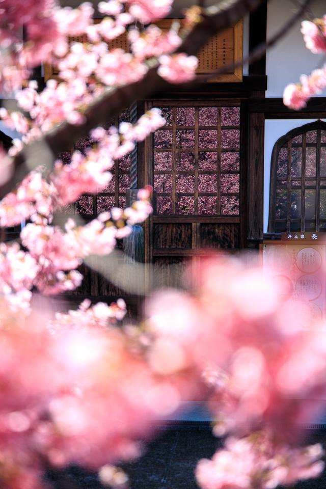 2020 桜!  ~長徳寺~_b0128581_19402568.jpg