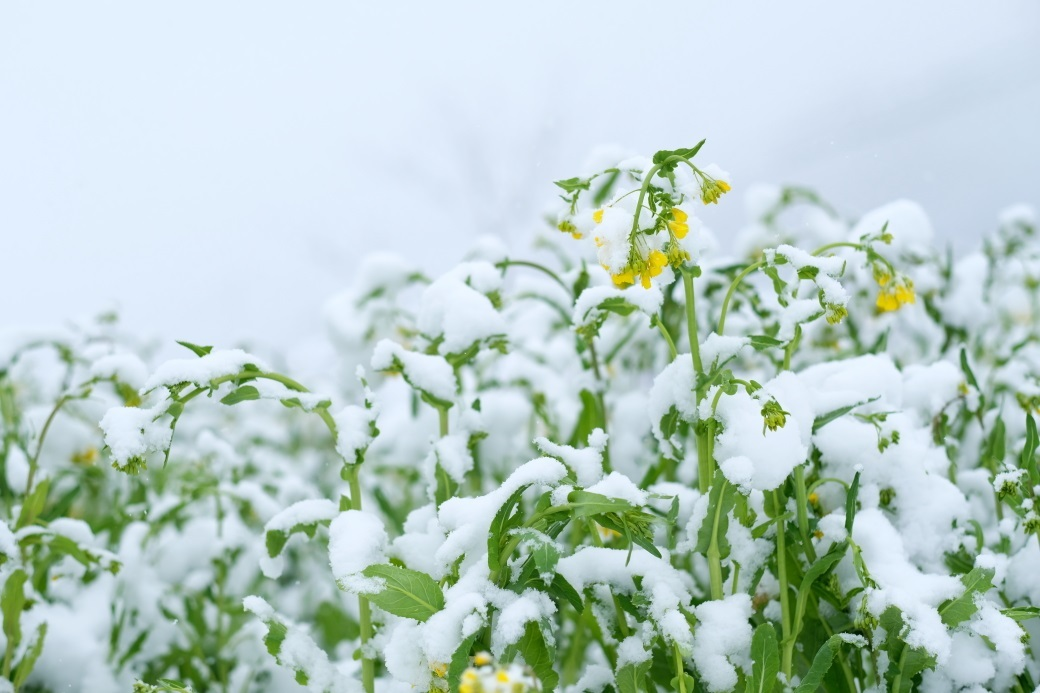 スノー菜の花 矢祭町にて 2020・03・29_e0143883_05205076.jpg