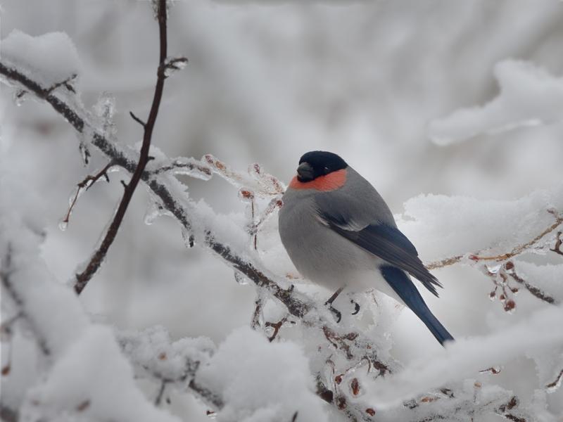 春の雨氷/積雪とウソ雄_a0204089_20221596.jpg