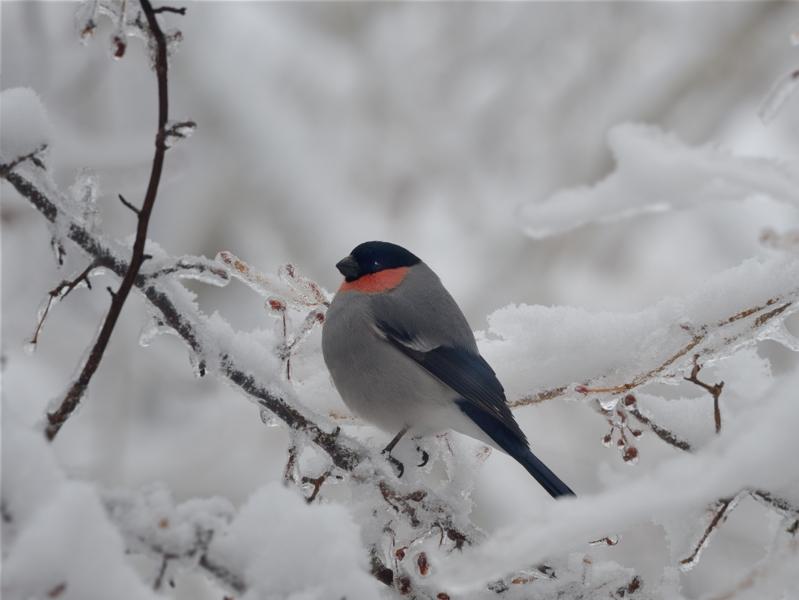 春の雨氷/積雪とウソ雄_a0204089_20223466.jpg